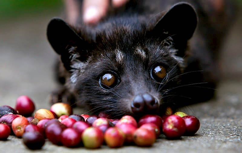 Civet Coffee Beans – Kinda Gross, But Tasty 4